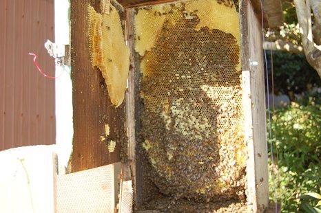 日本蜜蜂巣箱内