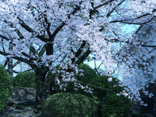 満開の桜1