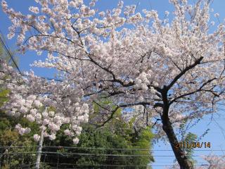 4.14の桜