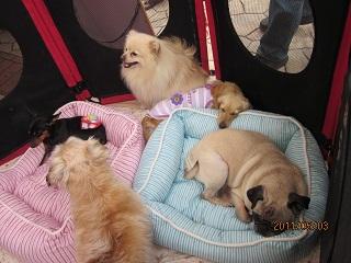 小型犬チーム