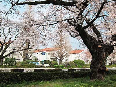 2012_sakura_03.jpg