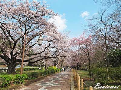2012_sakura_04.jpg