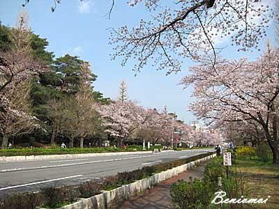 2012_sakura_05.jpg