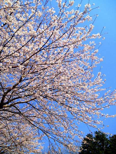 sakura2012-04.jpg