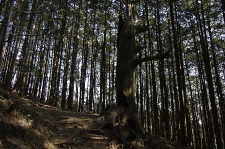 朽ちた大杉