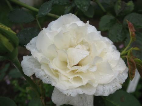 白マルメ1