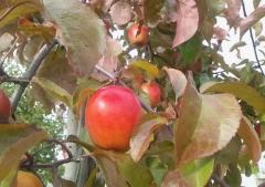 赤いりんごの並木道 (1)_600