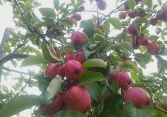赤いりんごの並木道 (2)_600