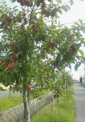 赤いりんごの並木道 (3)_600