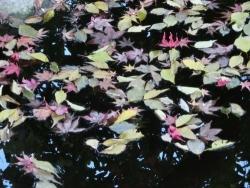 上野桜木会館の散り浮く紅葉