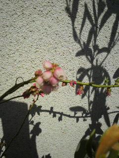 ブルーベリー 花