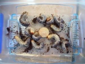 バラタス 幼虫1