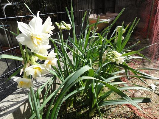 110222裏庭八重咲き水仙群