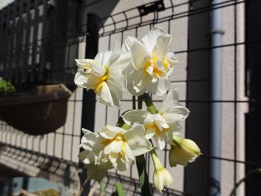 110222裏庭八重咲き水仙