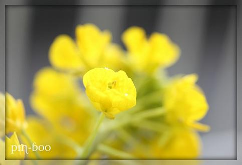 2.1菜の花