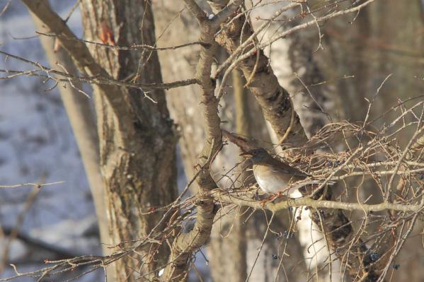 シロハラ_塩嶺小鳥の森