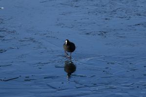 オオバン_諏訪湖