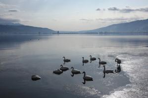 コハクチョウ_諏訪湖岡谷湖畔