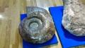 20140808_15アンモナイトの化石2