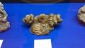 20140808_19異常巻きアンモナイトの化石3