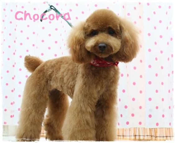 chocora5.jpg