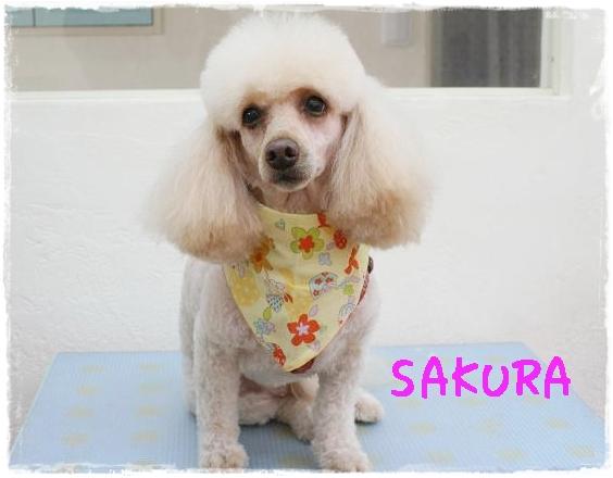 sakura0_20120229153406.jpg