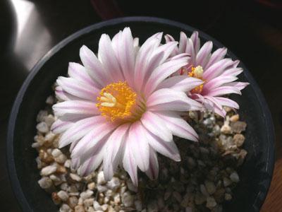 精巧殿の花