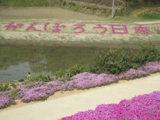 芝桜2011(2)