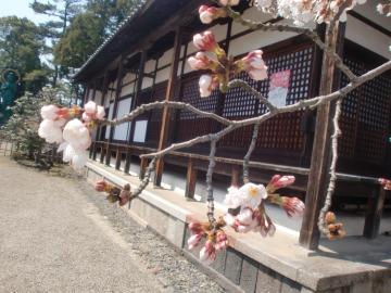 大茶盛ポスターと桜