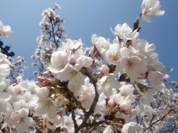 西大寺の桜