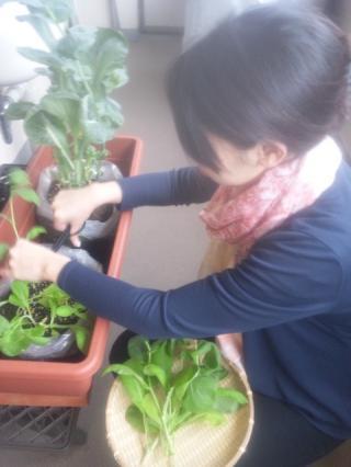 小松菜収穫中