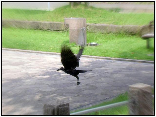 カラス 逃げる