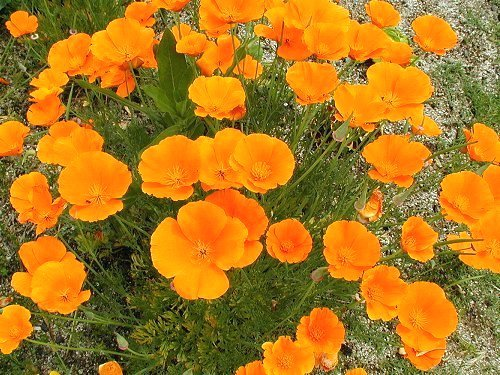 california poppy1