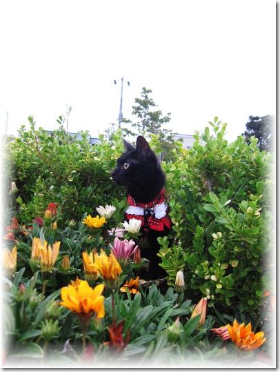 ガザニアの花とジジ