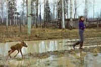 220px-Moose-Imprinting-sr81-15.jpg