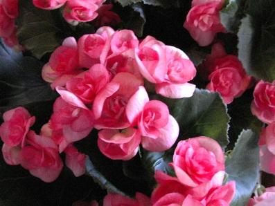 綺麗なピンクのベゴニア