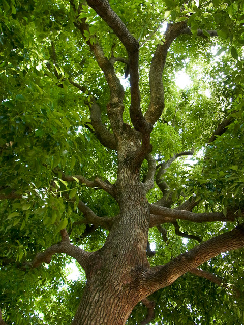 吉方公園の木3