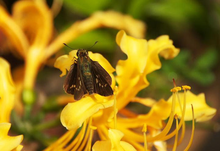 セセリ蝶-084-5