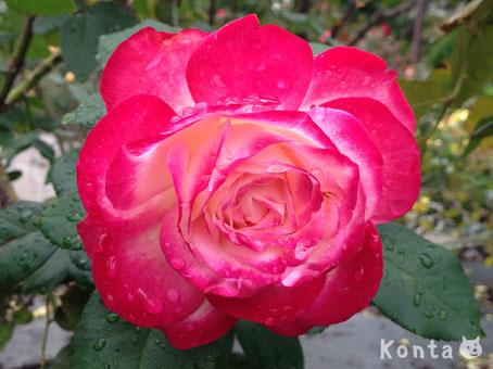 roses_3_20121019141606.jpg