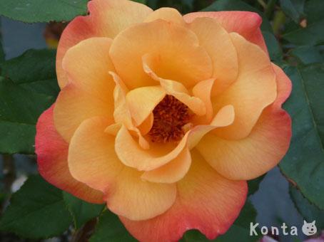 roses_4_20121019141605.jpg