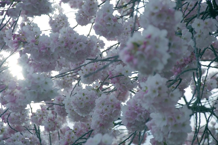ポートランド桜2-1