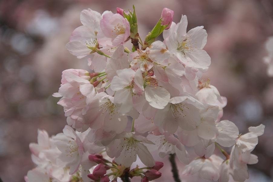 ポートランド桜2-2