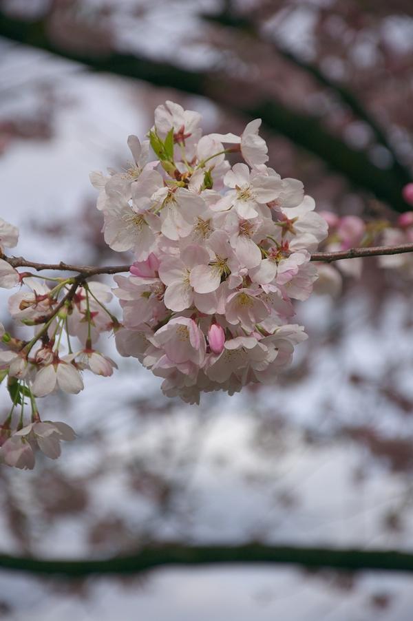 ポートランド桜2-3