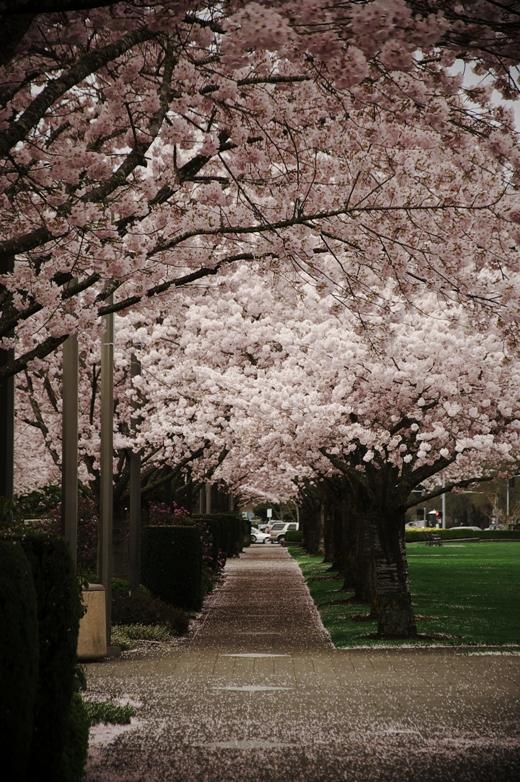 セーラム桜2