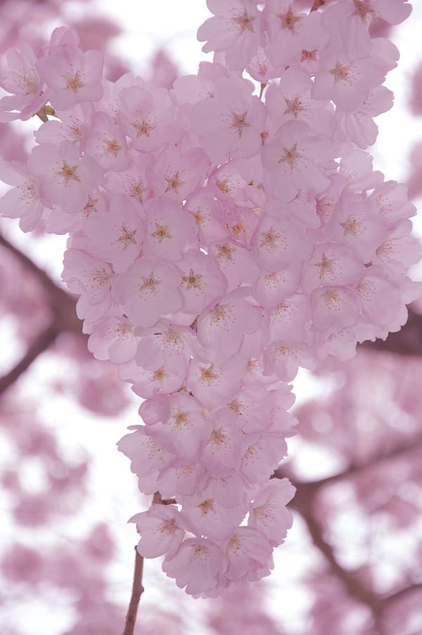 セーラム桜4