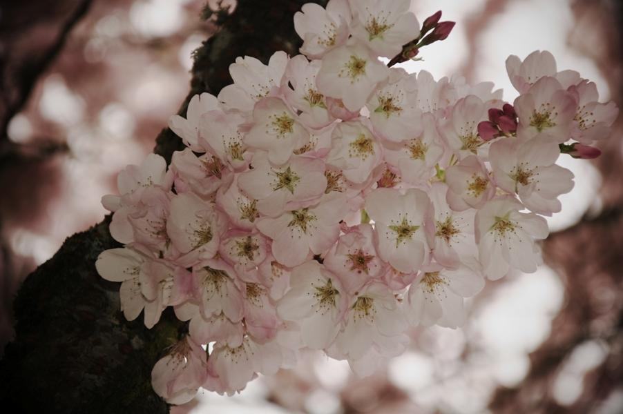 セーラム桜5