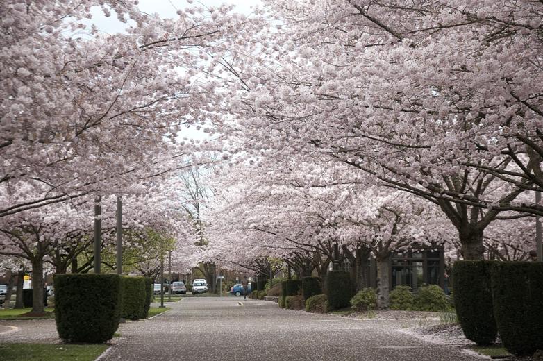 セーラム桜7