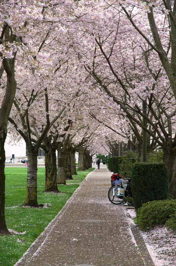 Salem桜 3-1