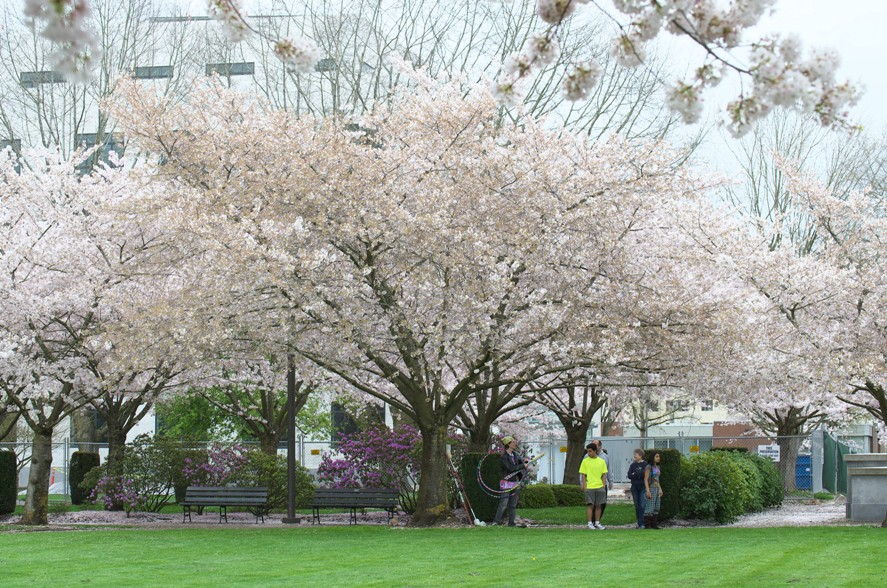 Salem桜 3-6