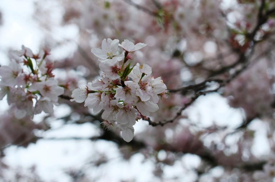 Salem桜 3-7